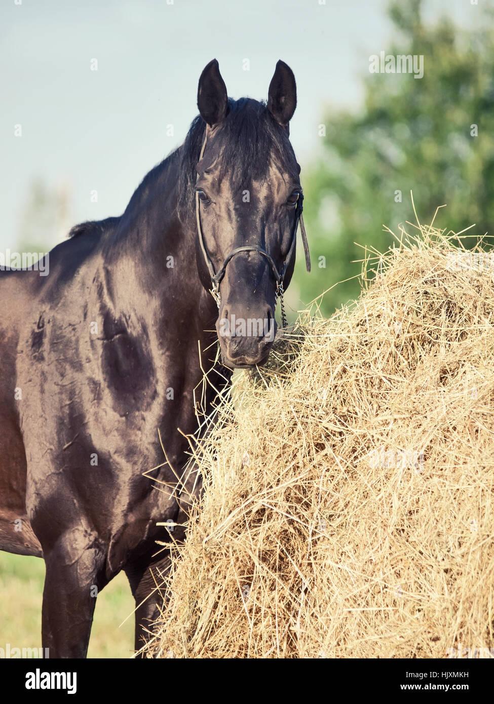portrait of black sportive horse near haystack - Stock Image
