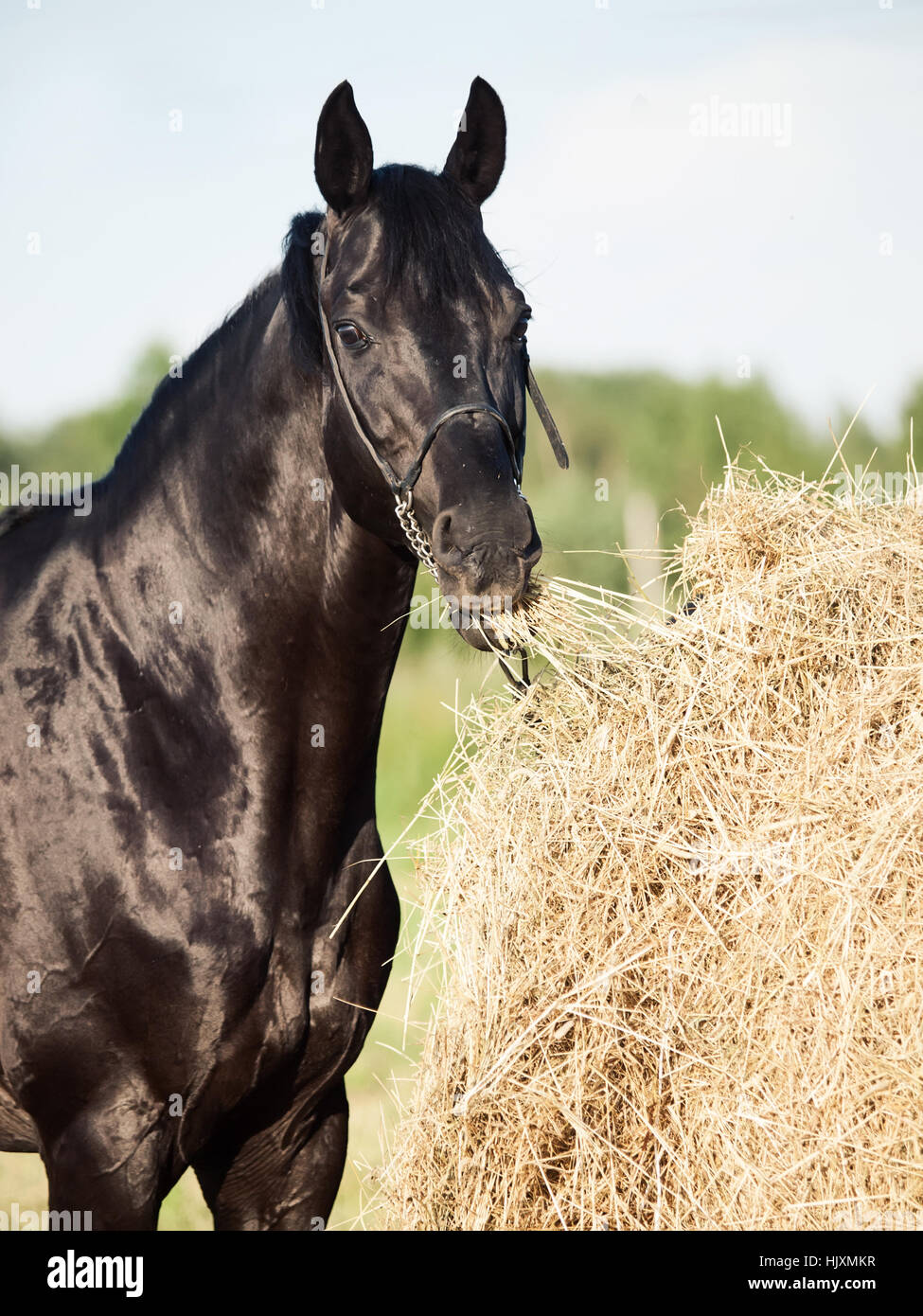 eating hay black horse from haystack in field - Stock Image