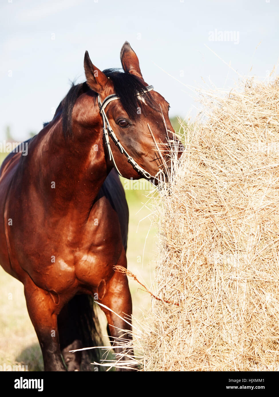eating hay bay horse from haystack in field - Stock Image