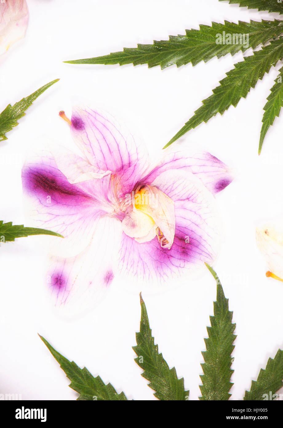 Cannabis leaves and dried pink orquid petals isolated over white background - marijuana spa concept Stock Photo