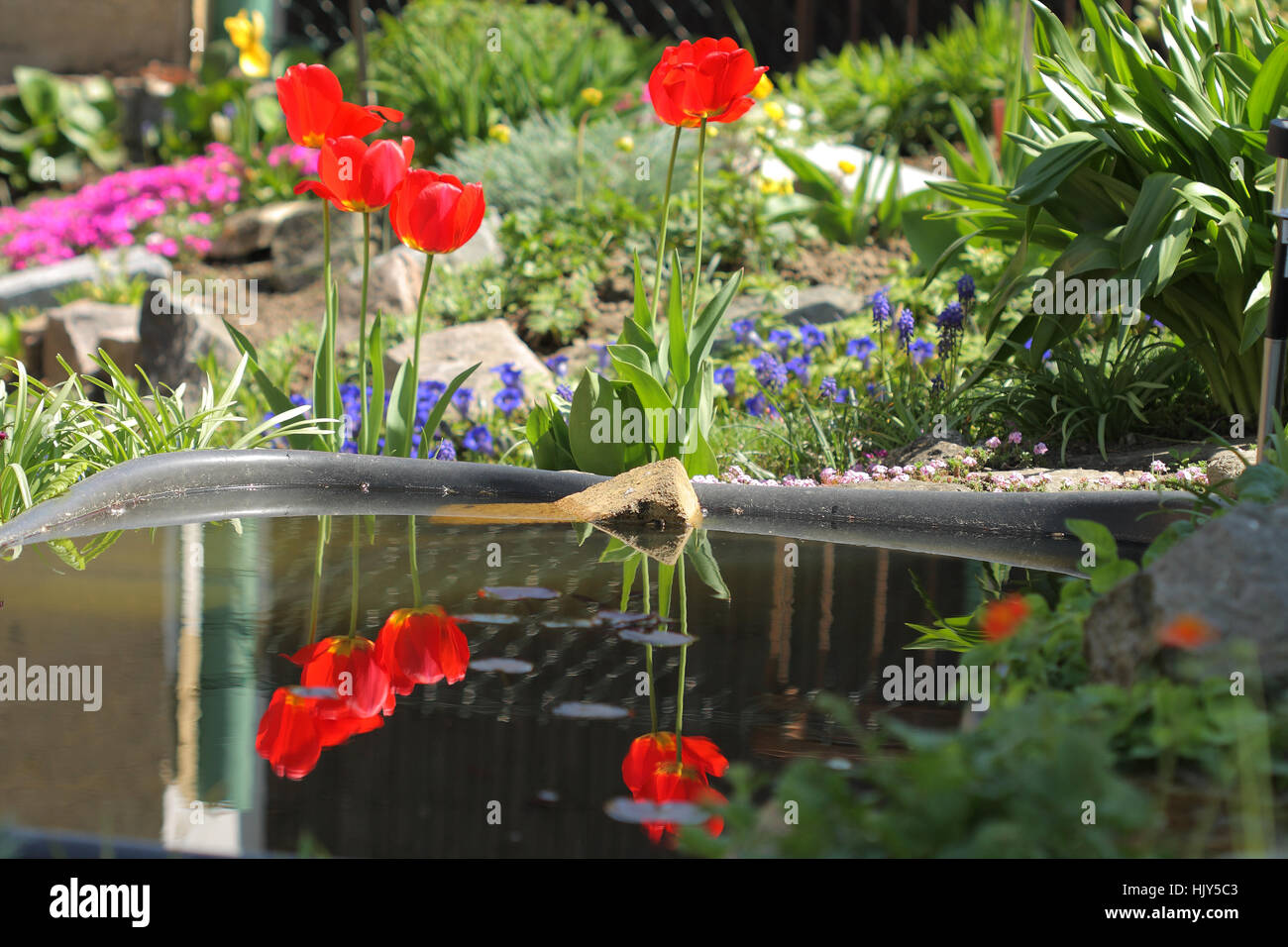 Spring flowers  of  tulip on blurred background, reflection in water in garden pond - Stock Image