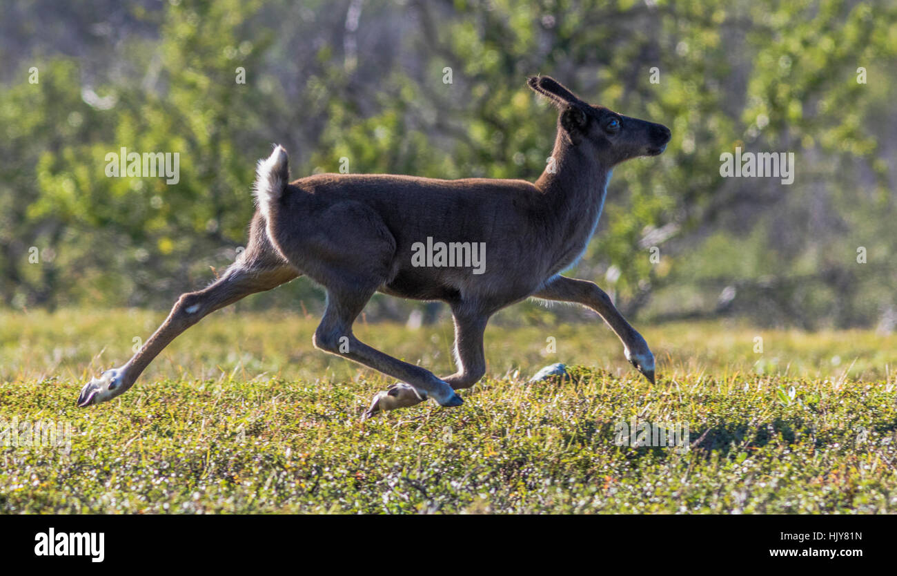 Reindeer on the run, Kiruna, Swedish Lapland, Sweden - Stock Image