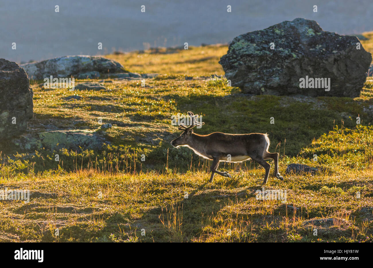 Reindeer walking in mountain, big rock in background, Kiruna, Swedish Lapland, Sweden - Stock Image