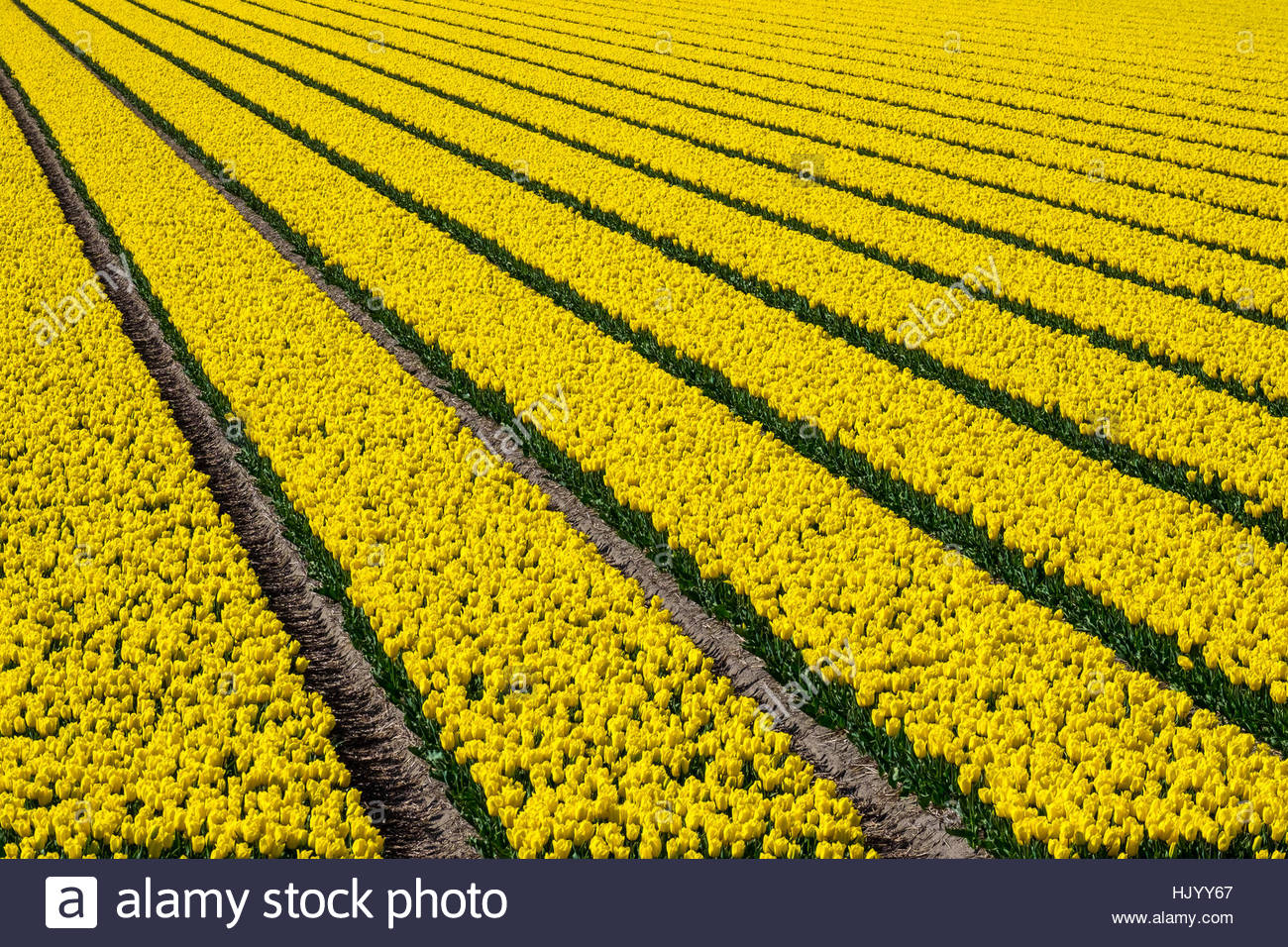 Netherlands, North Holland, Den Helder. Rows of colorful flowering tulips in a bulb field in spring. - Stock Image