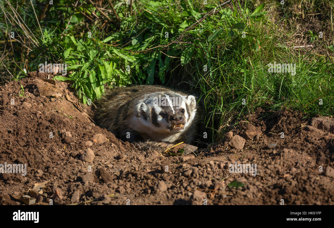 American badger - Stock Image