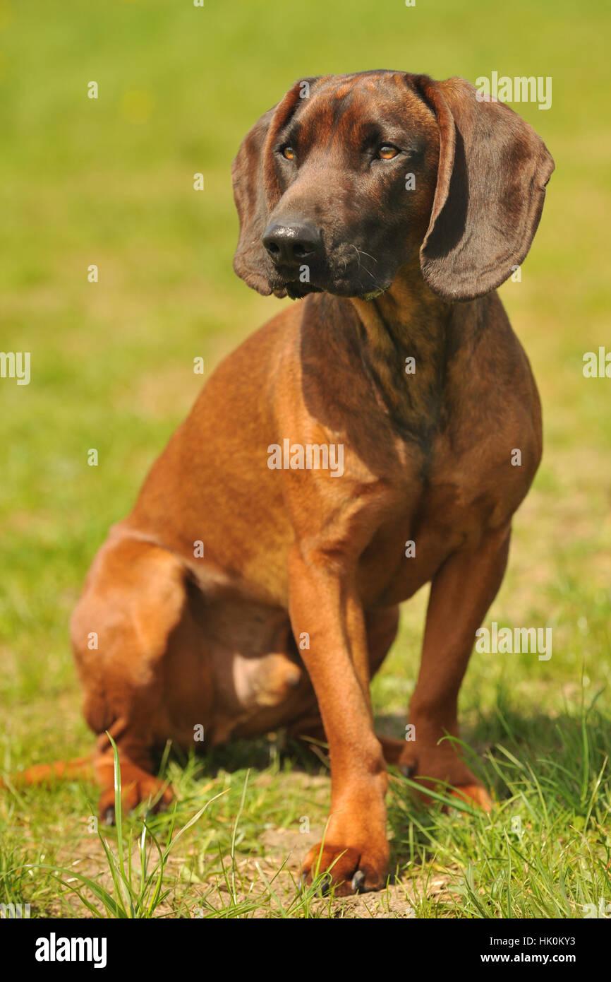bayerischer schweißhund