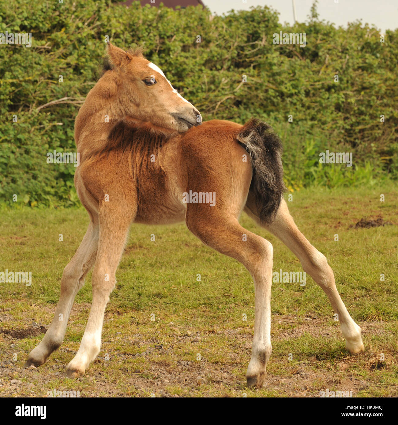 Baby Horse Cute High Resolution Stock Photography And Images Alamy