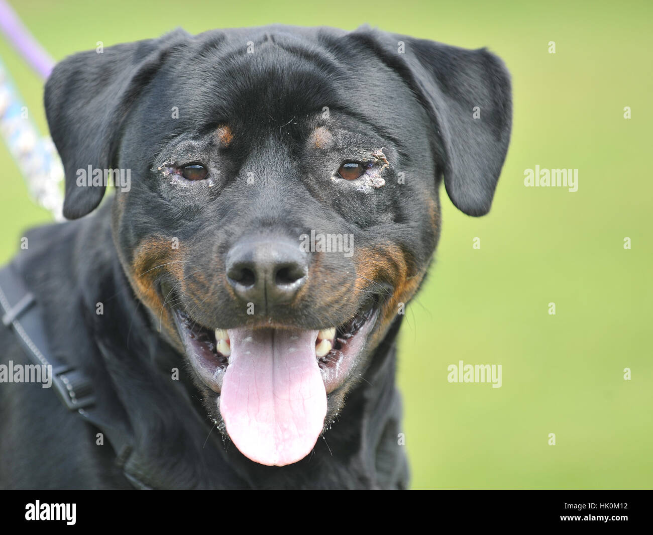 rescue rottweiler after eye surgery - Stock Image
