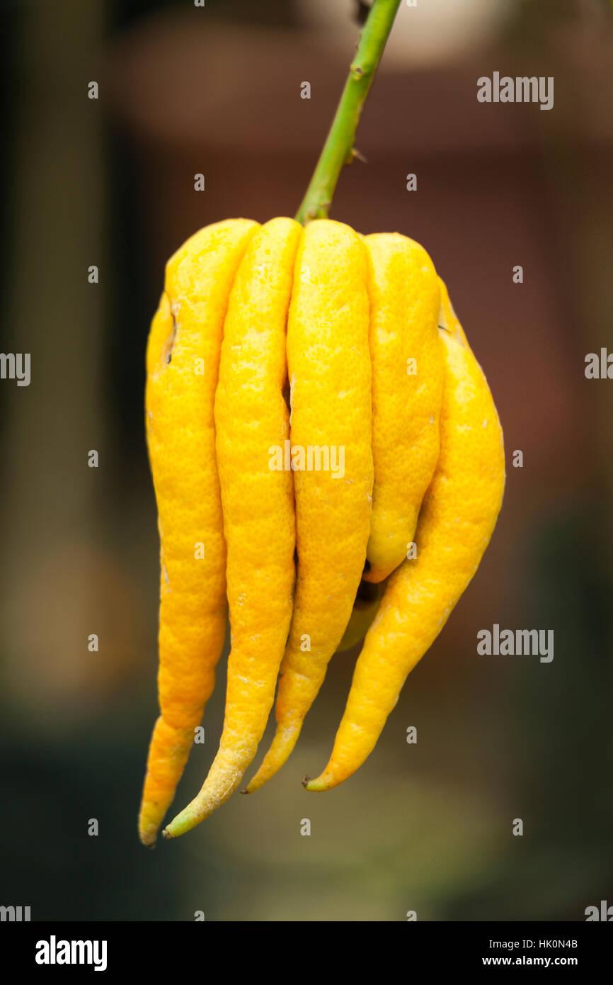 Fingered citron, Citrus medica 'Buddha's Hand' = Citrus medica var. sarcodactylis. Stock Photo