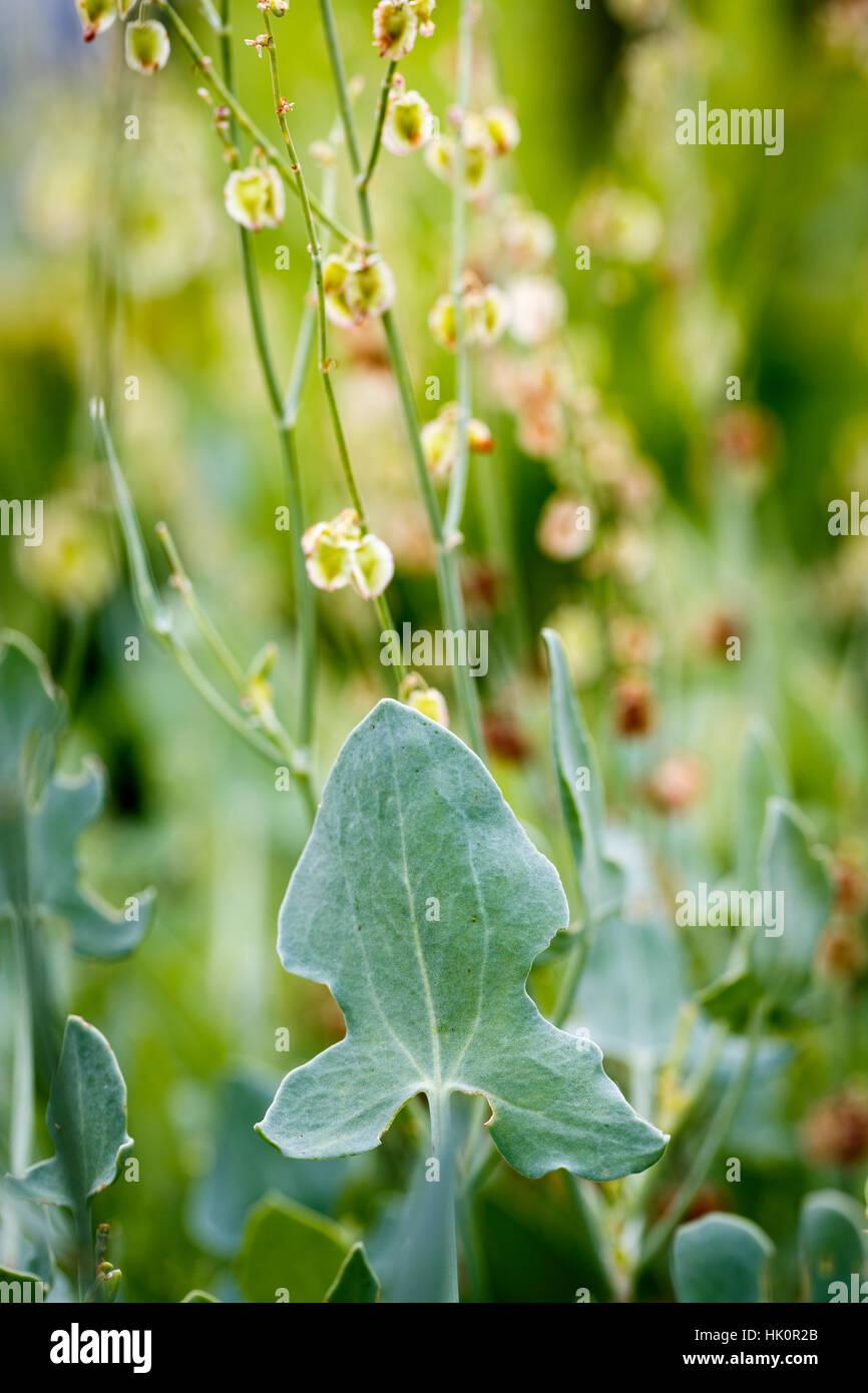 Rumex scutatus (Buckler Leaf Sorrel) Stock Photo