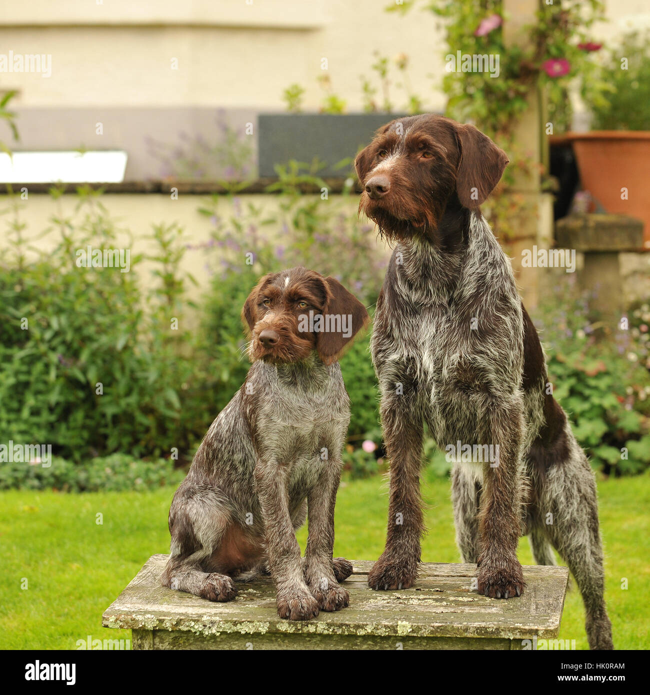 german wirehaired pointer adult and puppy. full tail - Stock Image