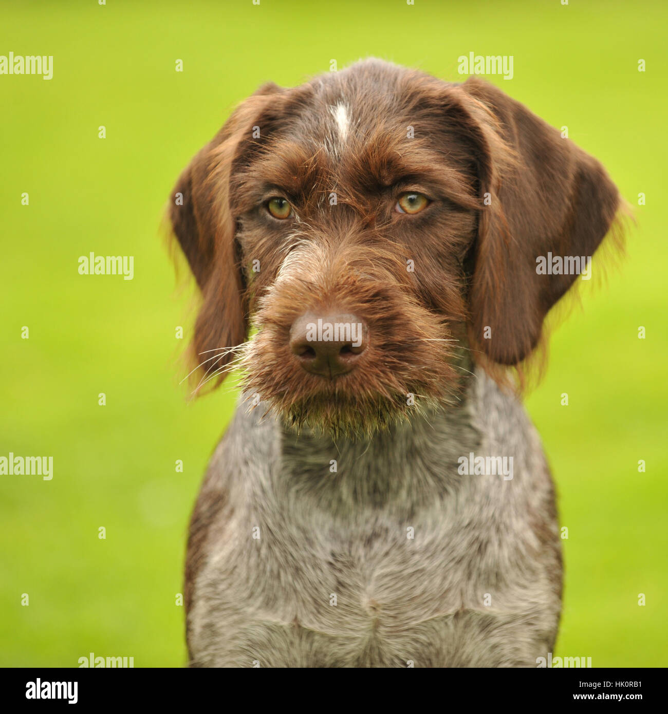 german wirehaired pointer puppy - Stock Image
