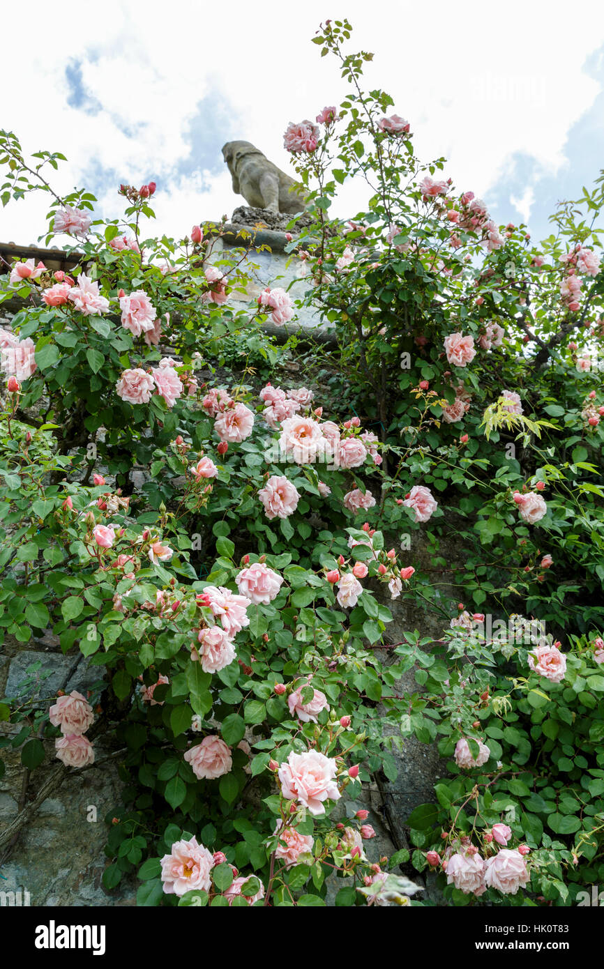florence nightingale rose plant