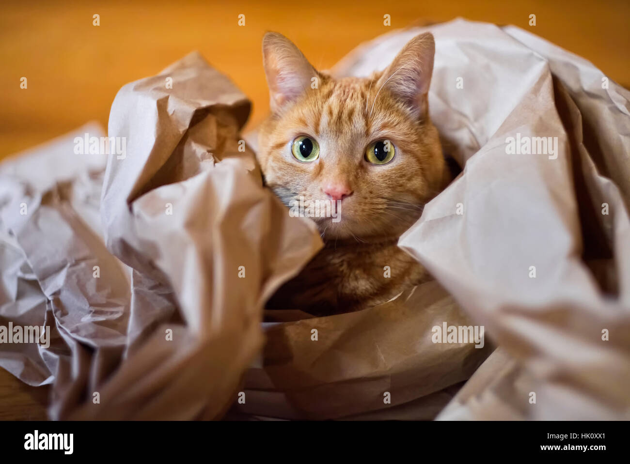 Fergus the cat in crunchy brown packing paper. - Stock Image