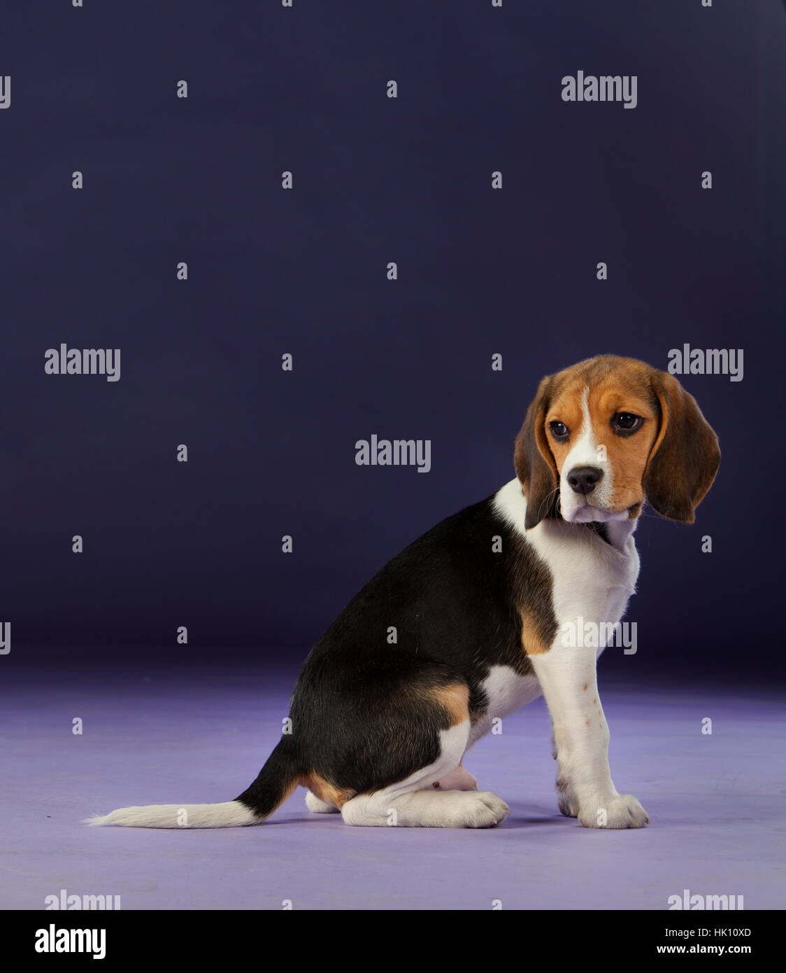 Baby beagle on the studio with blue background - Stock Image