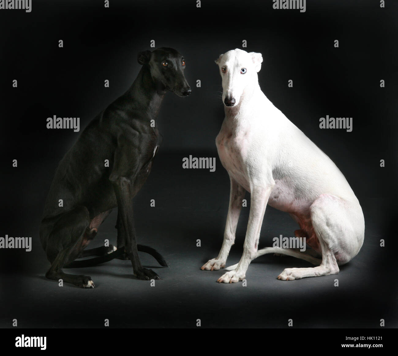 Black and white greyhound together - Stock Image