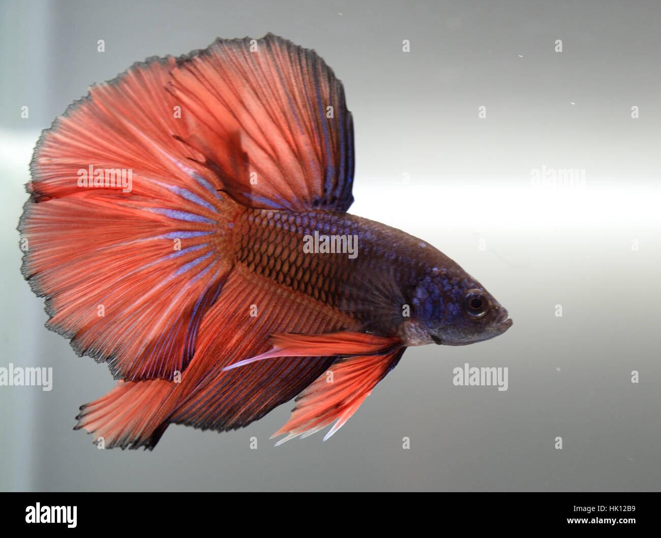 Orange Fish Fins Stock Photos & Orange Fish Fins Stock Images - Alamy