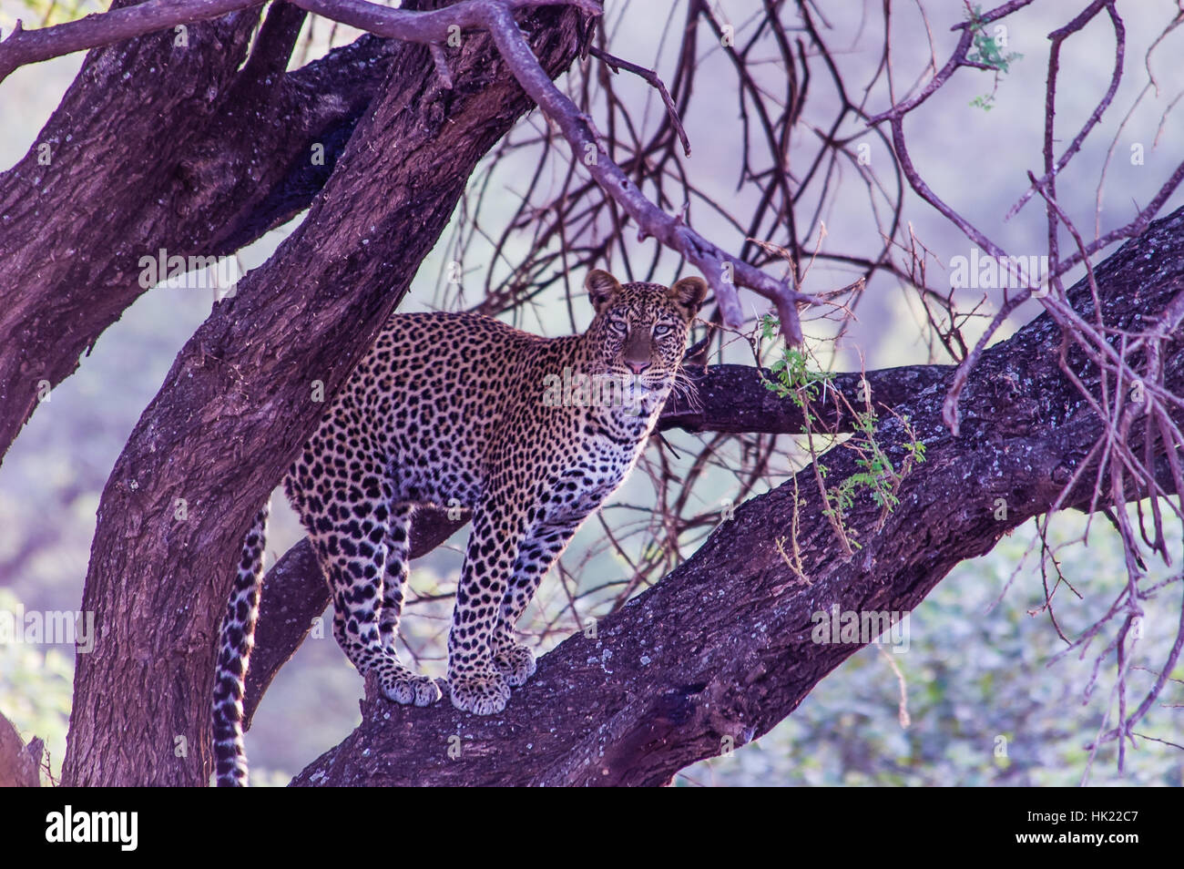 Leopard in a tree - Stock Image