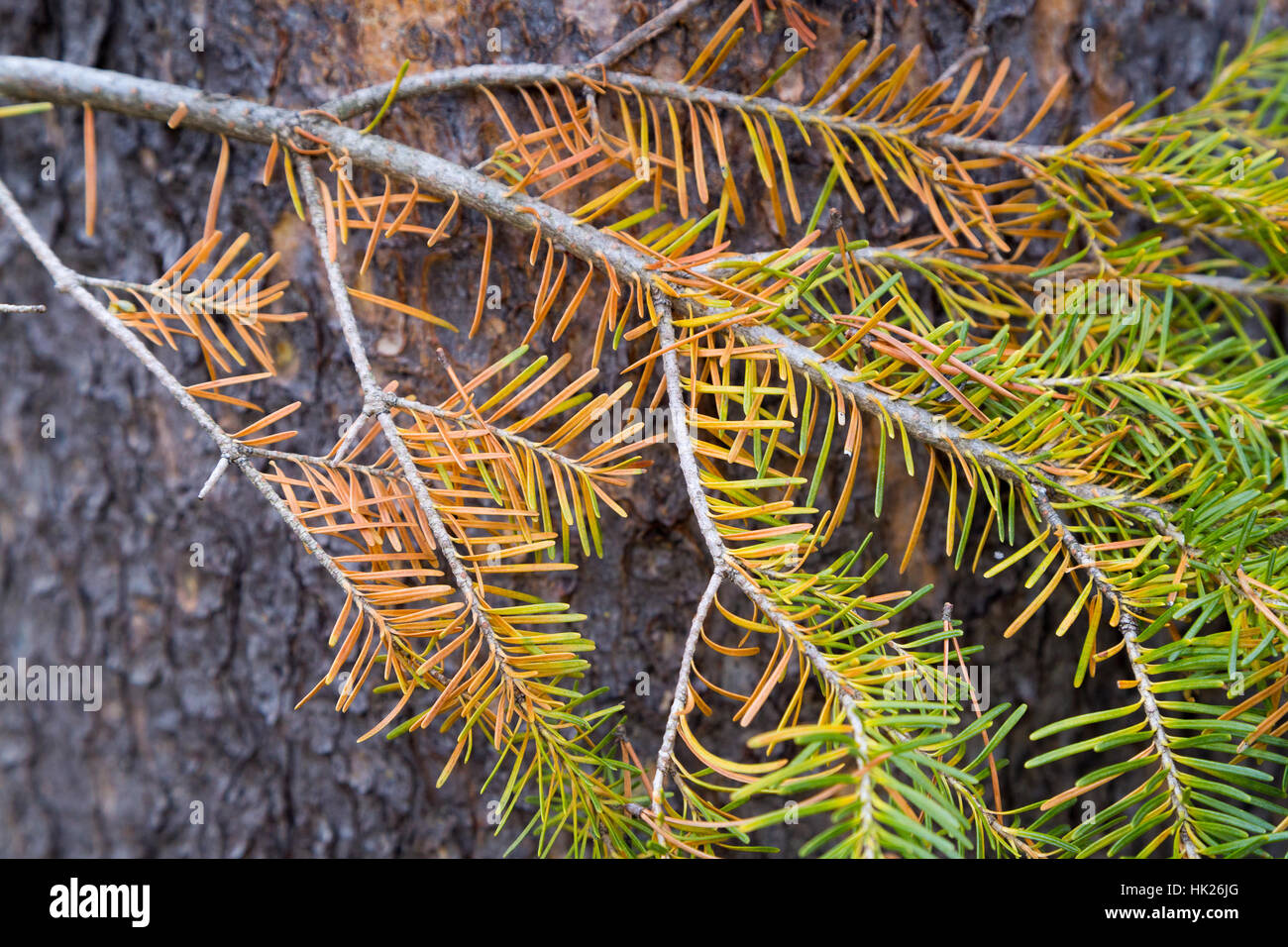 A spruce branch fading along a tree trunk along the String Lake Trail in Jackson Hole. Grand Teton National Park, - Stock Image