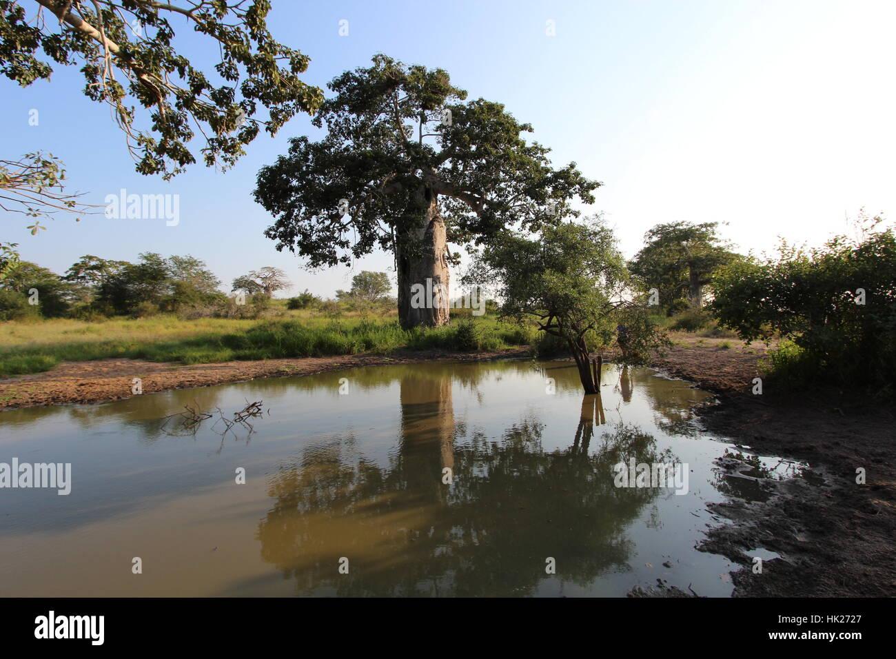 Big and wonderful Baobab at the Kissama National Park - Angola, Africa Stock Photo