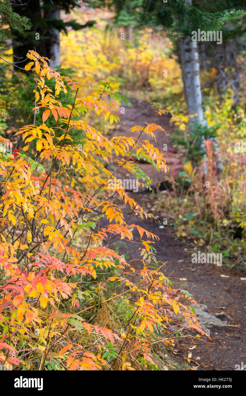 Fall leaves on mountain ash berry bushes along the Ski Lake Trail in the Teton Mountains. Bridger-Teton National - Stock Image