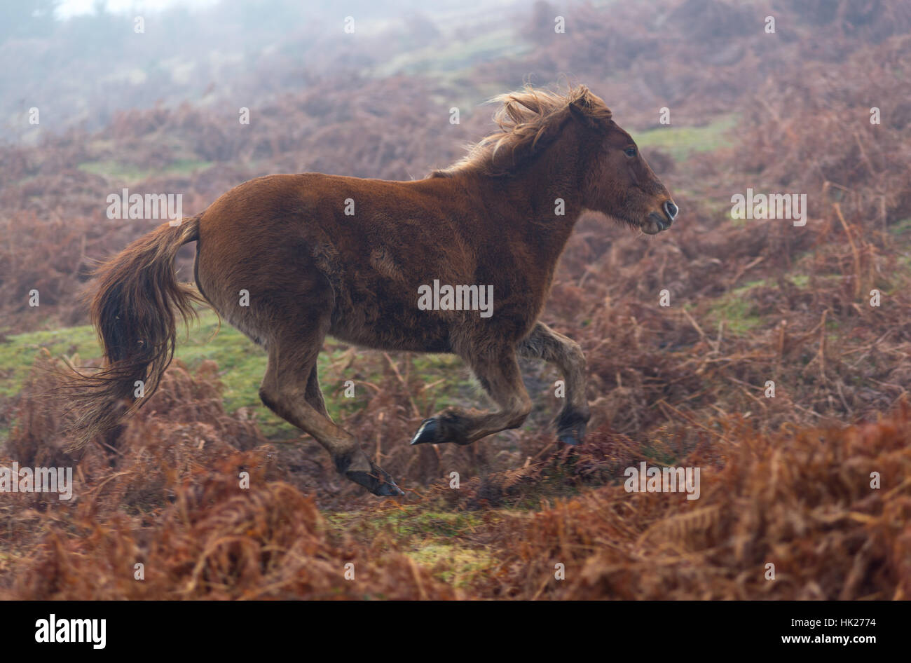 New Forest pony running through bracken. - Stock Image