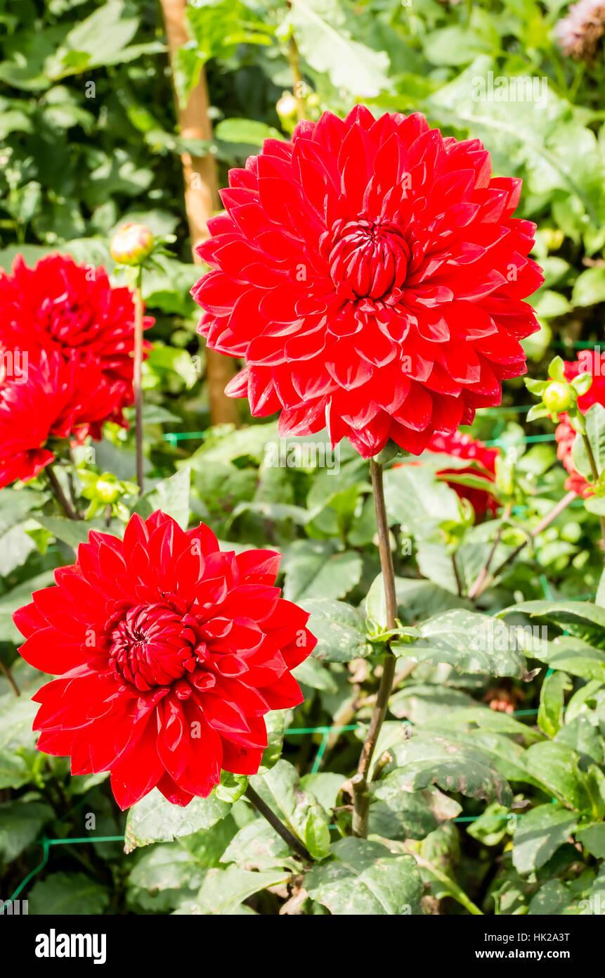 Dahlia Garden Wonder flowering in September in the UK - Stock Image