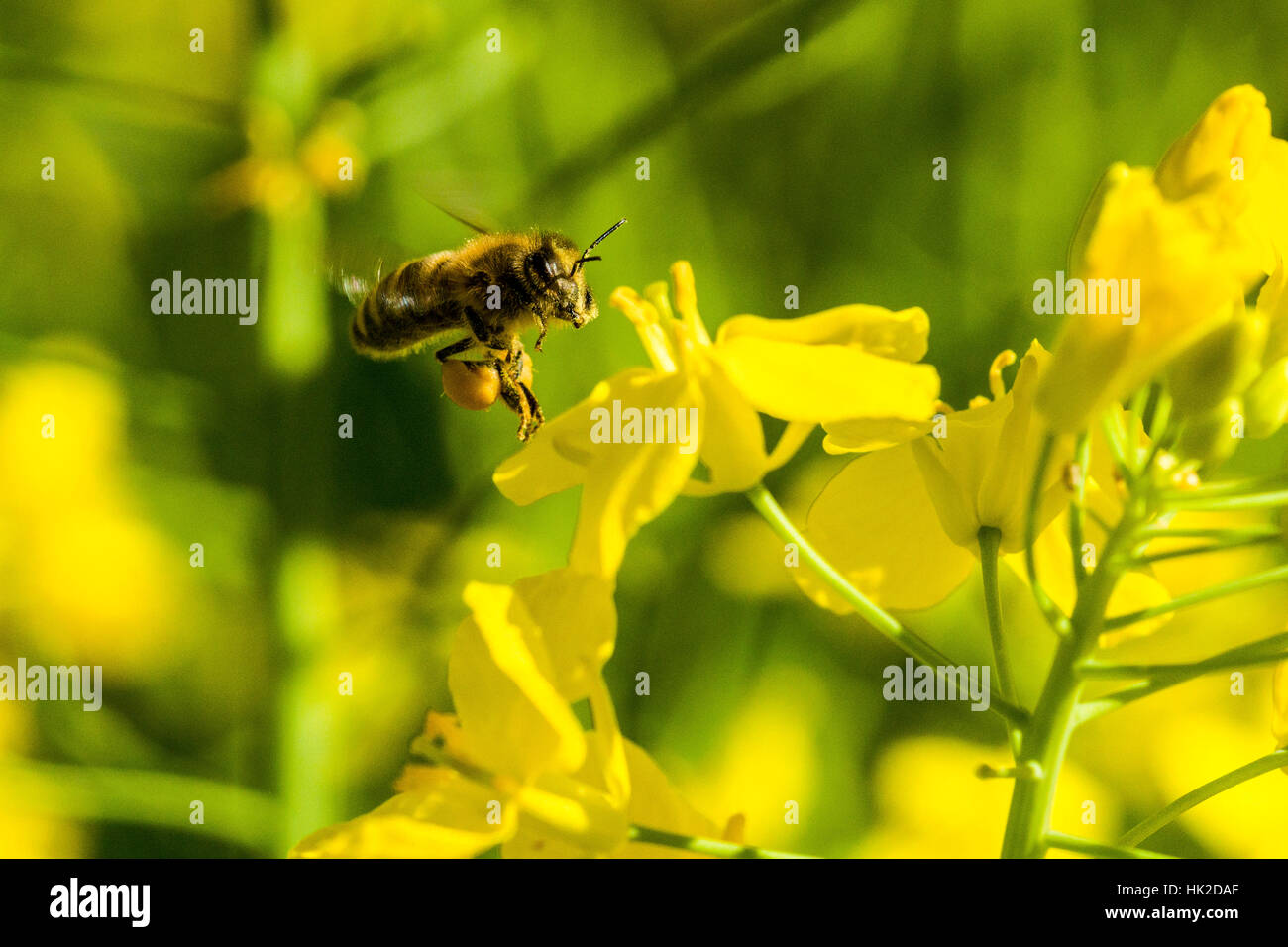 A Carniolan honey bee (Apis mellifera carnica) is collecting nectar at a yellow rapeseed blossom, flying over it - Stock Image