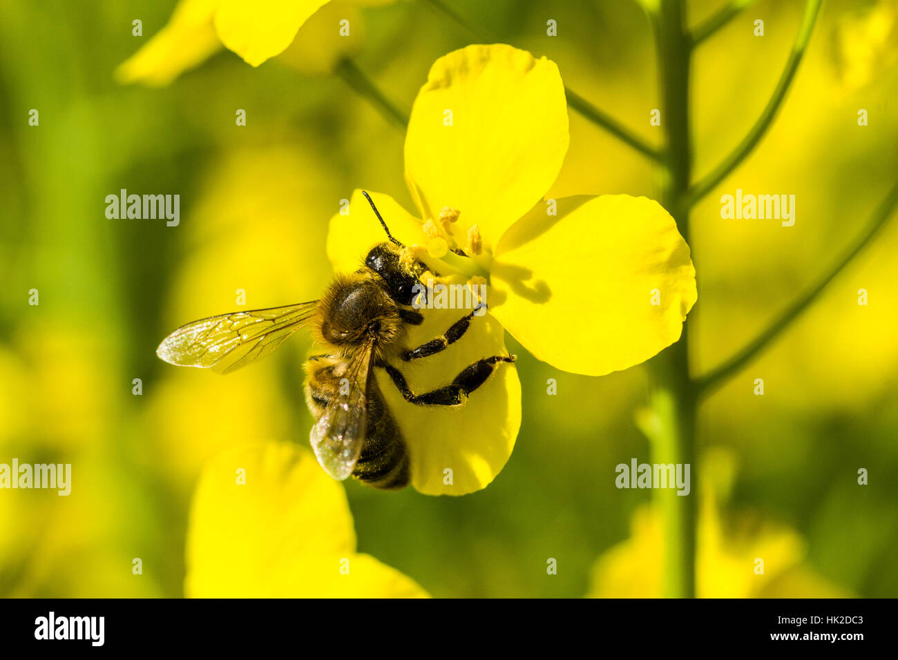 A Carniolan honey bee (Apis mellifera carnica) is collecting nectar at a yellow rapeseed blossom - Stock Image