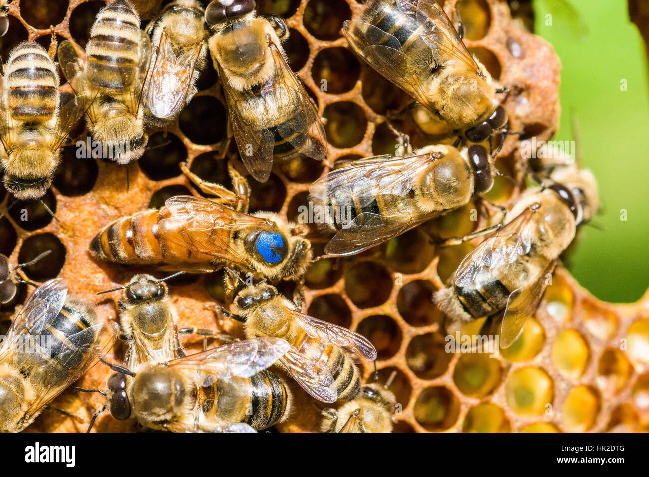 The blue marked Queen of a Carniolan honey bee (Apis mellifera carnica) colony is searching for a place to insert Stock Photo