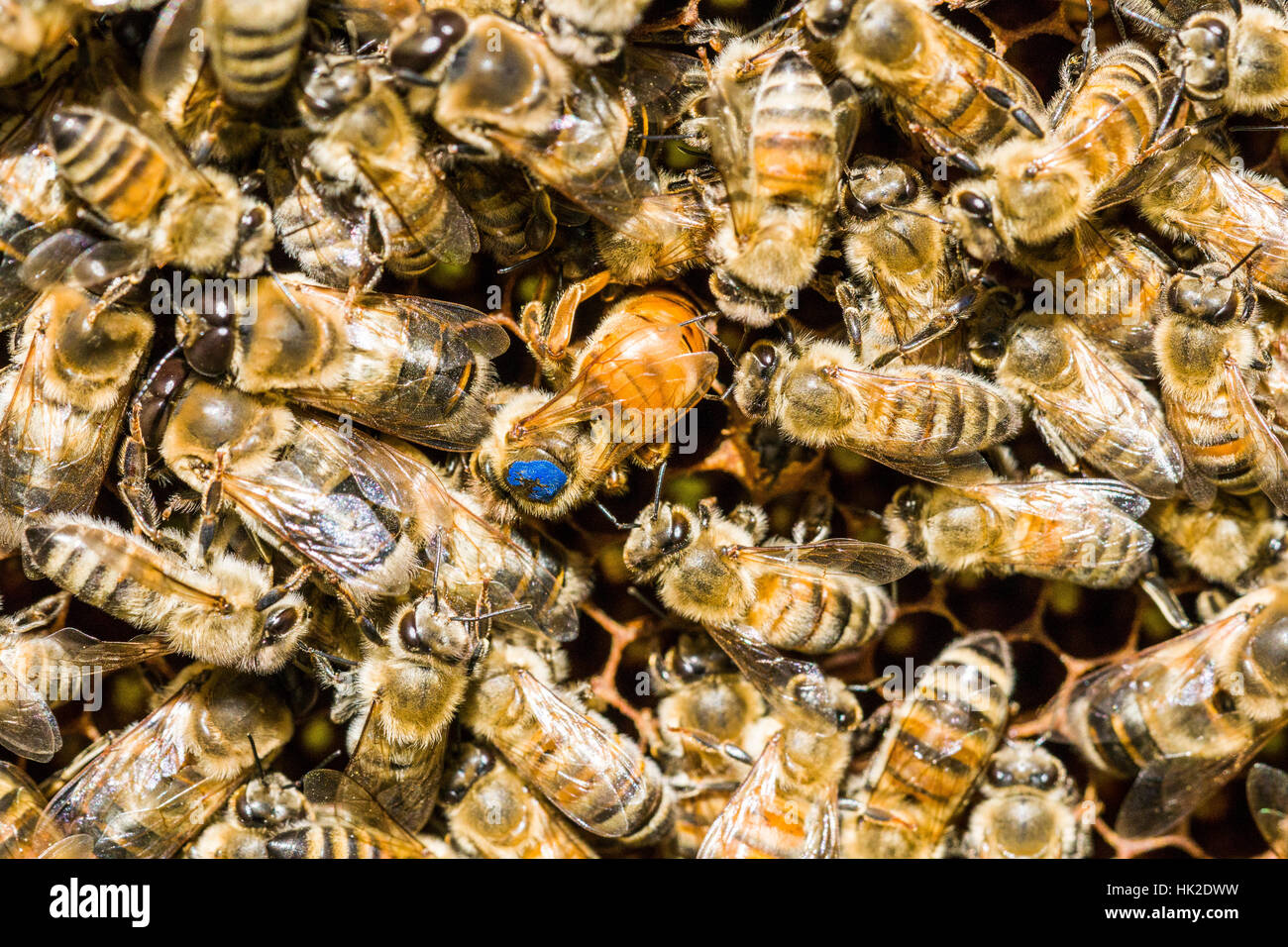The blue marked Queen of a Carniolan honey bee (Apis mellifera carnica) colony is inserting an egg - Stock Image