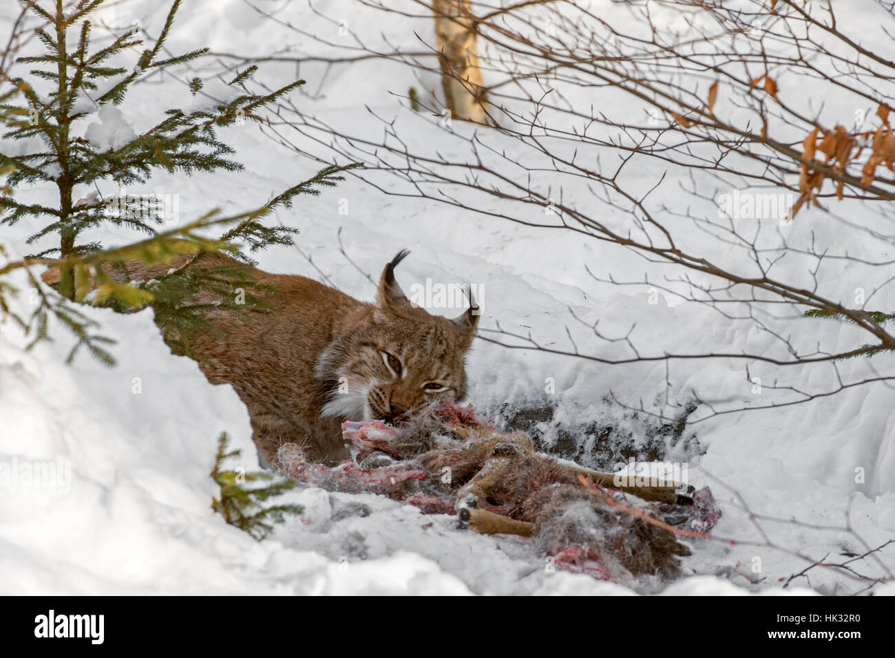 Eurasian lynx (Lynx lynx) feeding on killed roe deer in the snow in winter Stock Photo