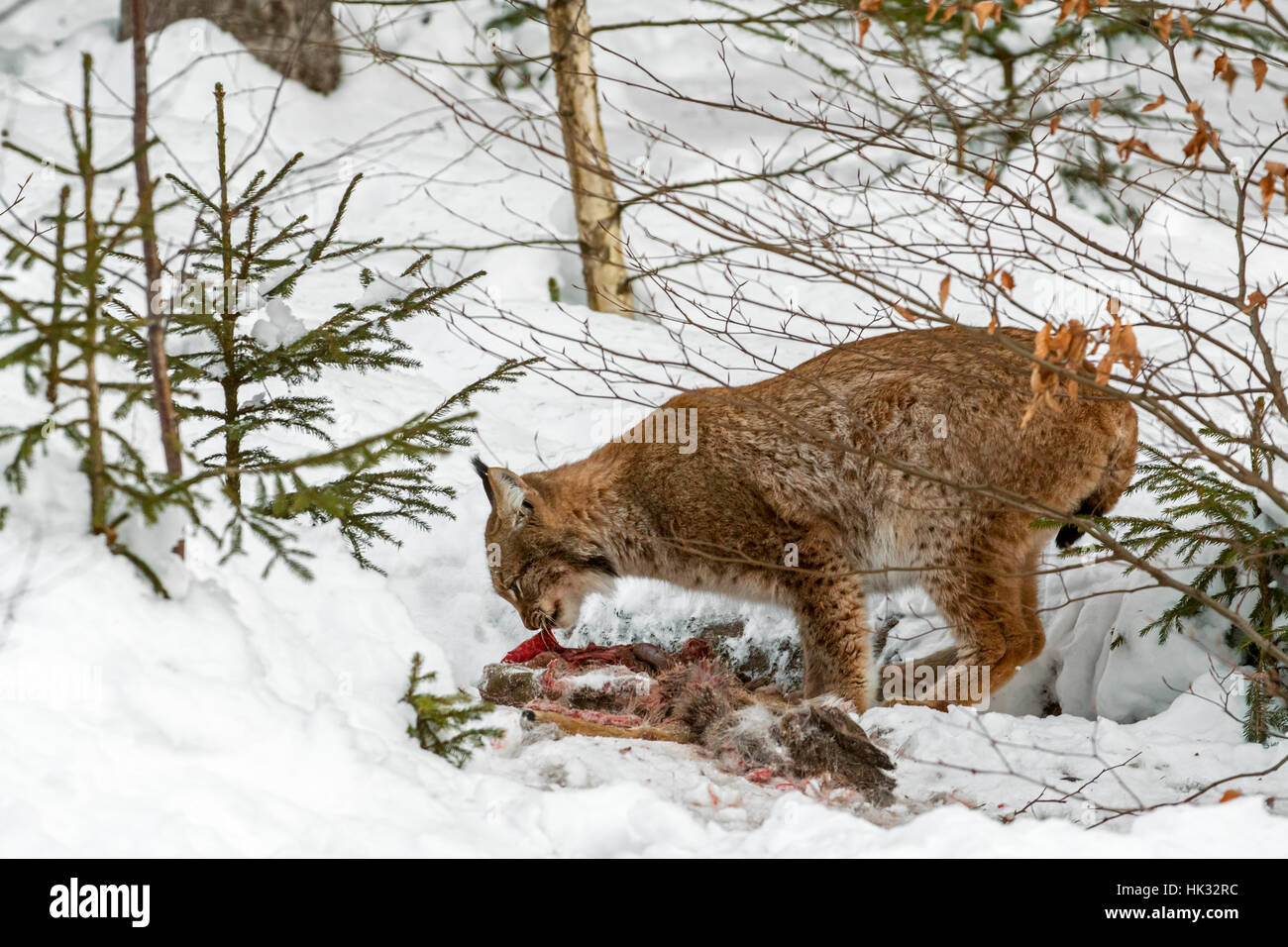 Eurasian lynx (Lynx lynx) feeding on killed roe deer in the snow in winter Stock Photo