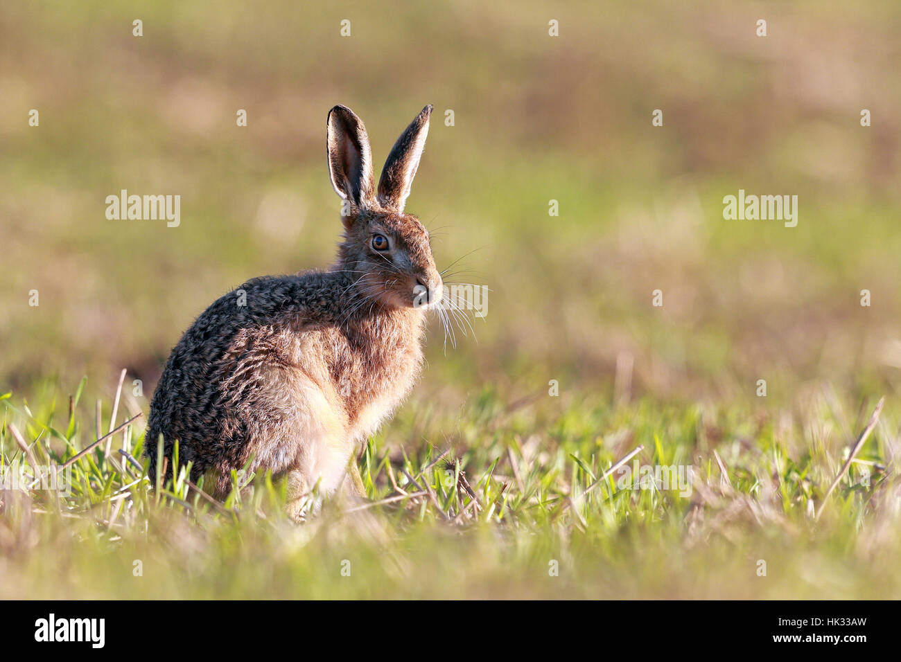 Brown hare feeding in the grass verges - Stock Image