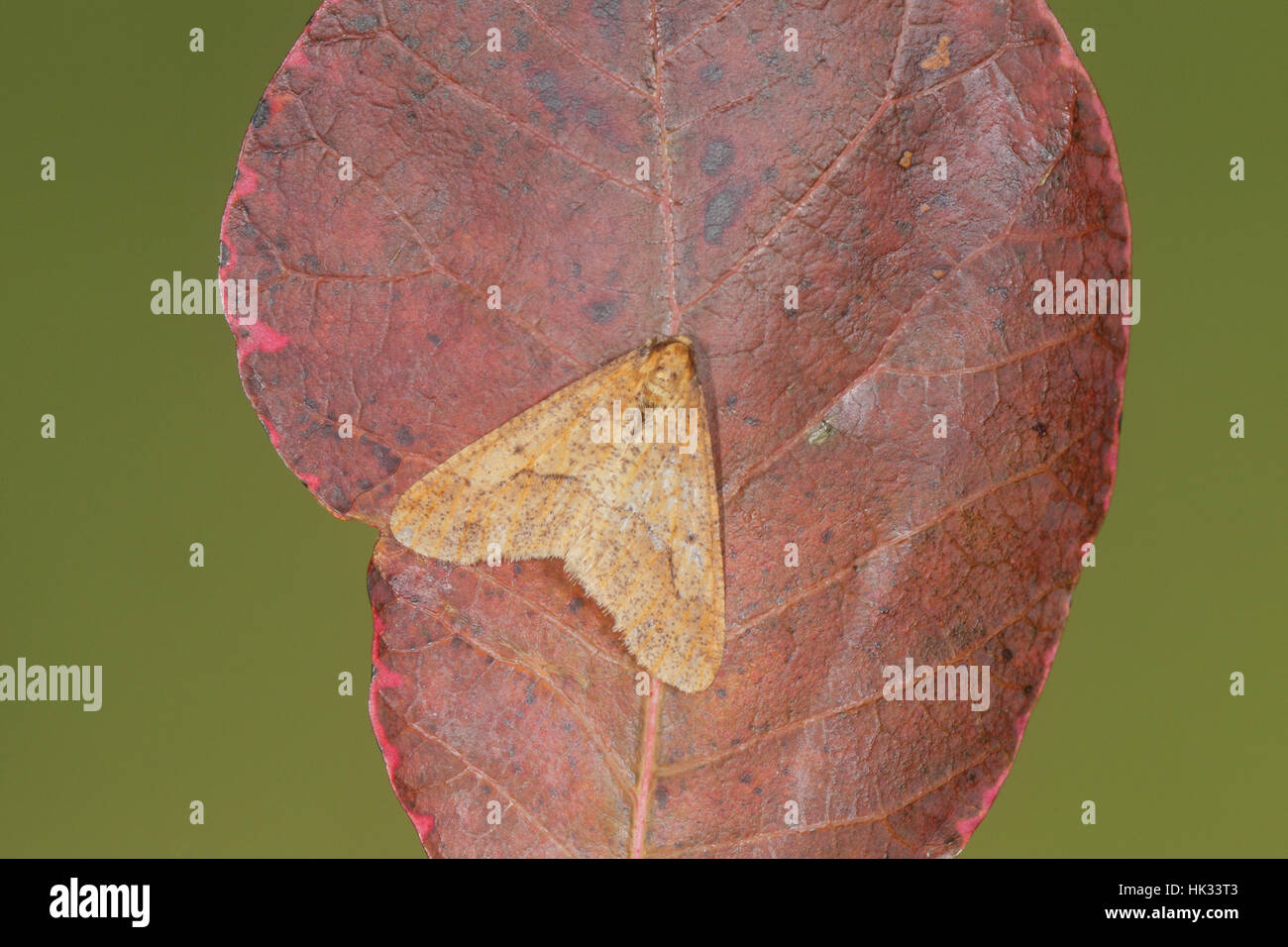 Mottled Umber (Erannis defoliaria), a ginger-brown moth that flies in late autumn and winter, sat on a russet leaf - Stock Image