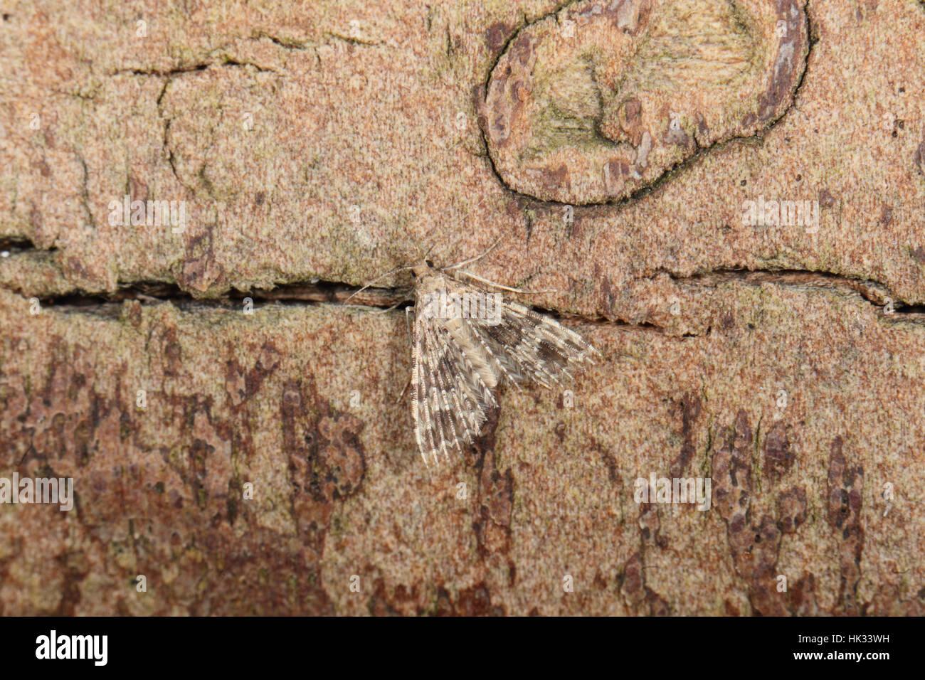 Twenty-plume or Many-plumed Moth (Alucita hexadactyla), - Stock Image