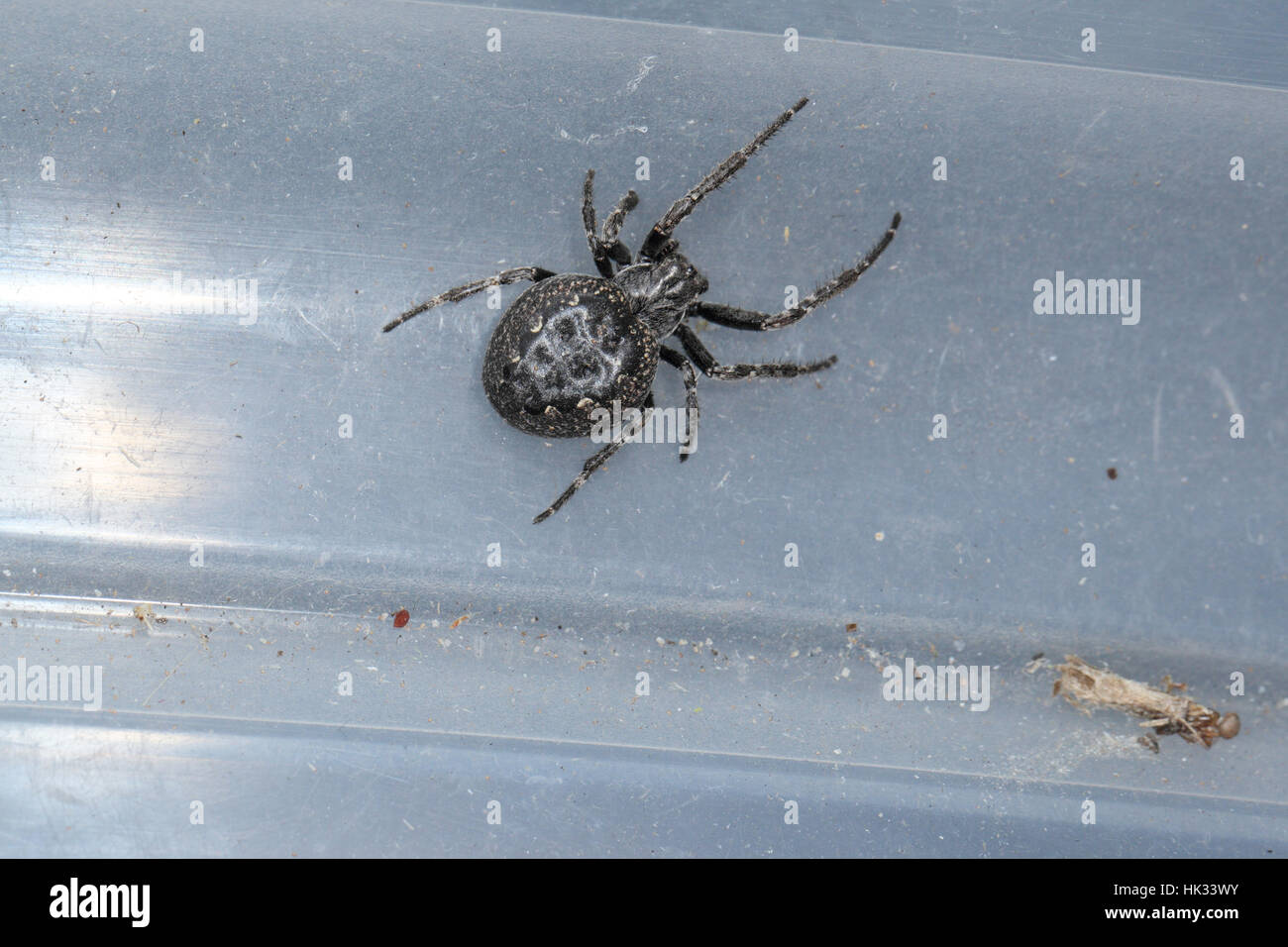 Walnut Orb-weaver Spider (Nuctenea umbratica), a large black garden spider with a swollen abdomen, on a grey plastic - Stock Image