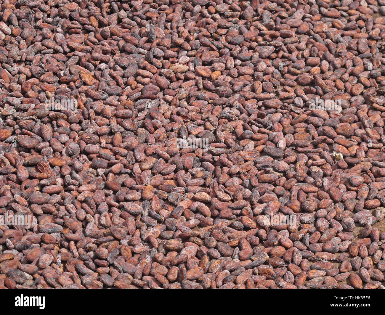 Cocoa (Theobroma cacao) beans drying in the sun  Fond Doux Plantation, St Lucia, Lesser Antilles       December - Stock Image
