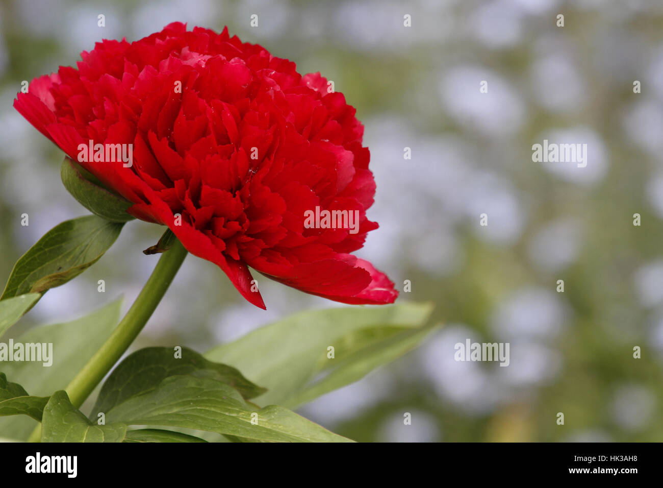 flower, plant, peony, romanticism, red, garden, flower, plant, peony, romantic, Stock Photo