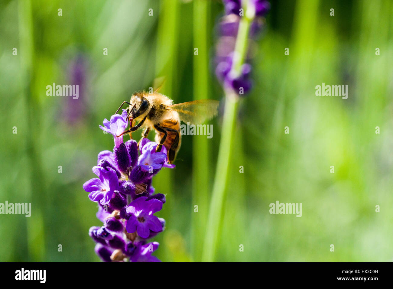 A Carniolan honey bee (Apis mellifera carnica) is collecting nectar at a purple Lavender (Lavandula) blossom - Stock Image