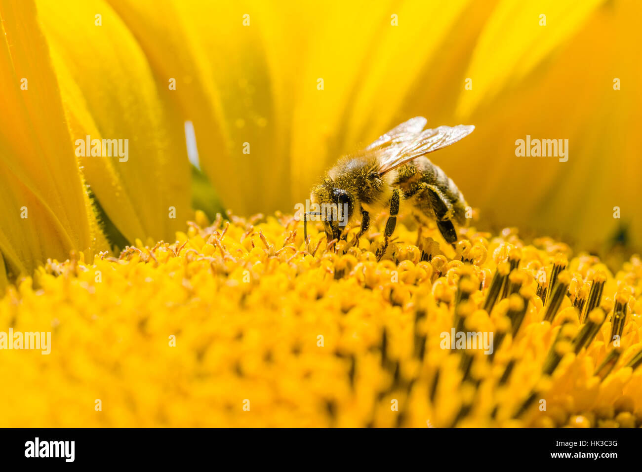 A Carniolan honey bee (Apis mellifera carnica) is collecting nectar at a common sunflower (Helianthus annuus) blossom - Stock Image