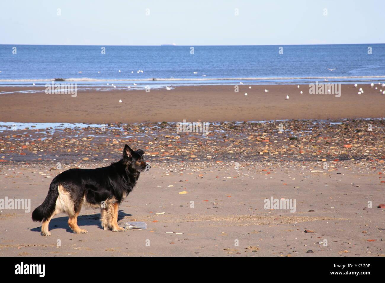 Dog on the beach in beautiful sunny weather in Edinburgh on Portobello Beach, Scotland - Stock Image