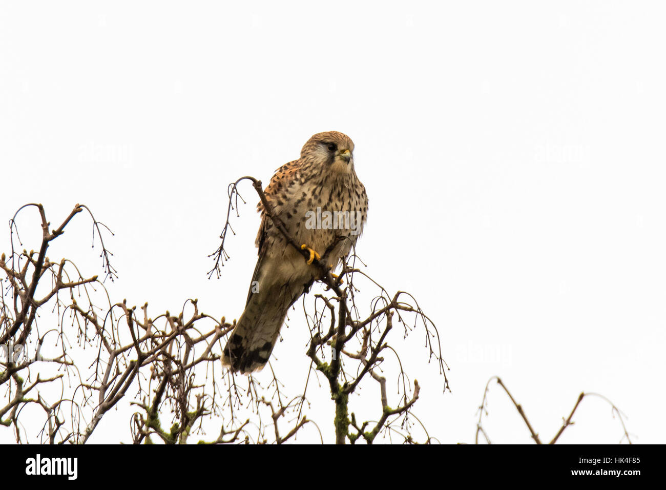 Female kestrel (Falco tinnunculus) in tree. Small falcon (family Falconidae) perched in tree scanning for small - Stock Image