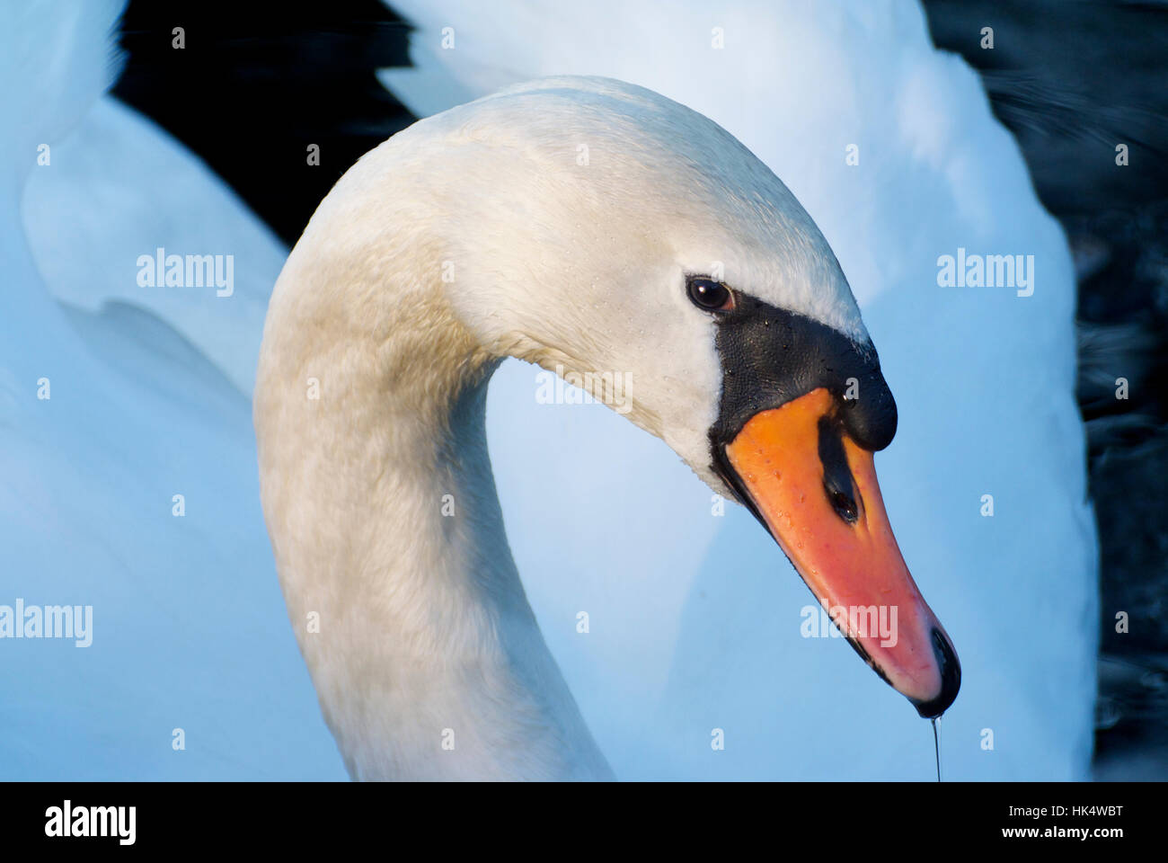 Mute swan (cygnus olor) in soft light - Stock Image