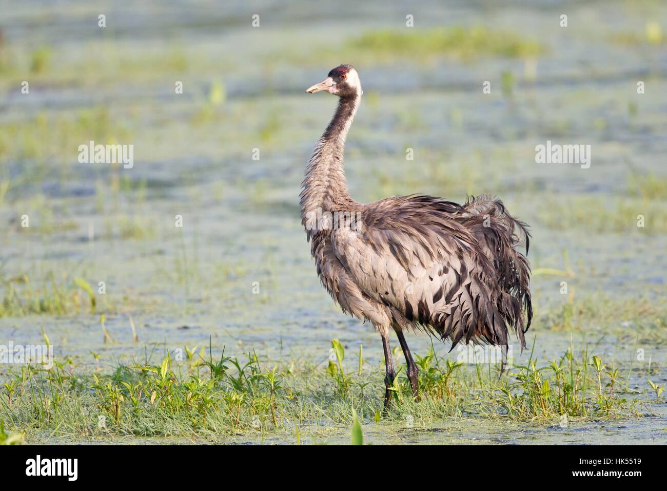 feathers, feathering, crane, feathers, feathering, crane, grayer, grey, gray, Stock Photo