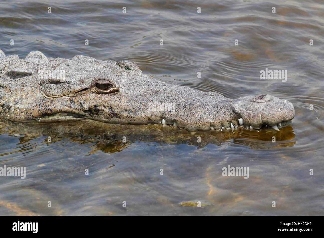 reptile, crocodile, swimming, water, swiming, swim, swims, to do the crawl, - Stock Image