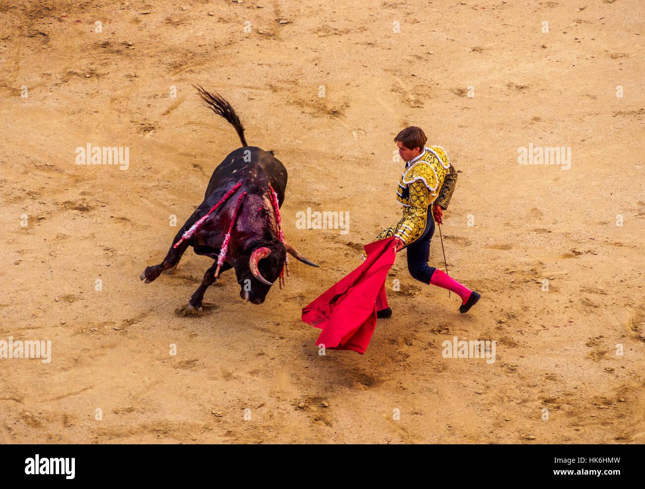 Bullfighter teases hurt bull with red cape in bullfighting arena, muleta, novice bullfight, Novillada Picada, torero, - Stock Image
