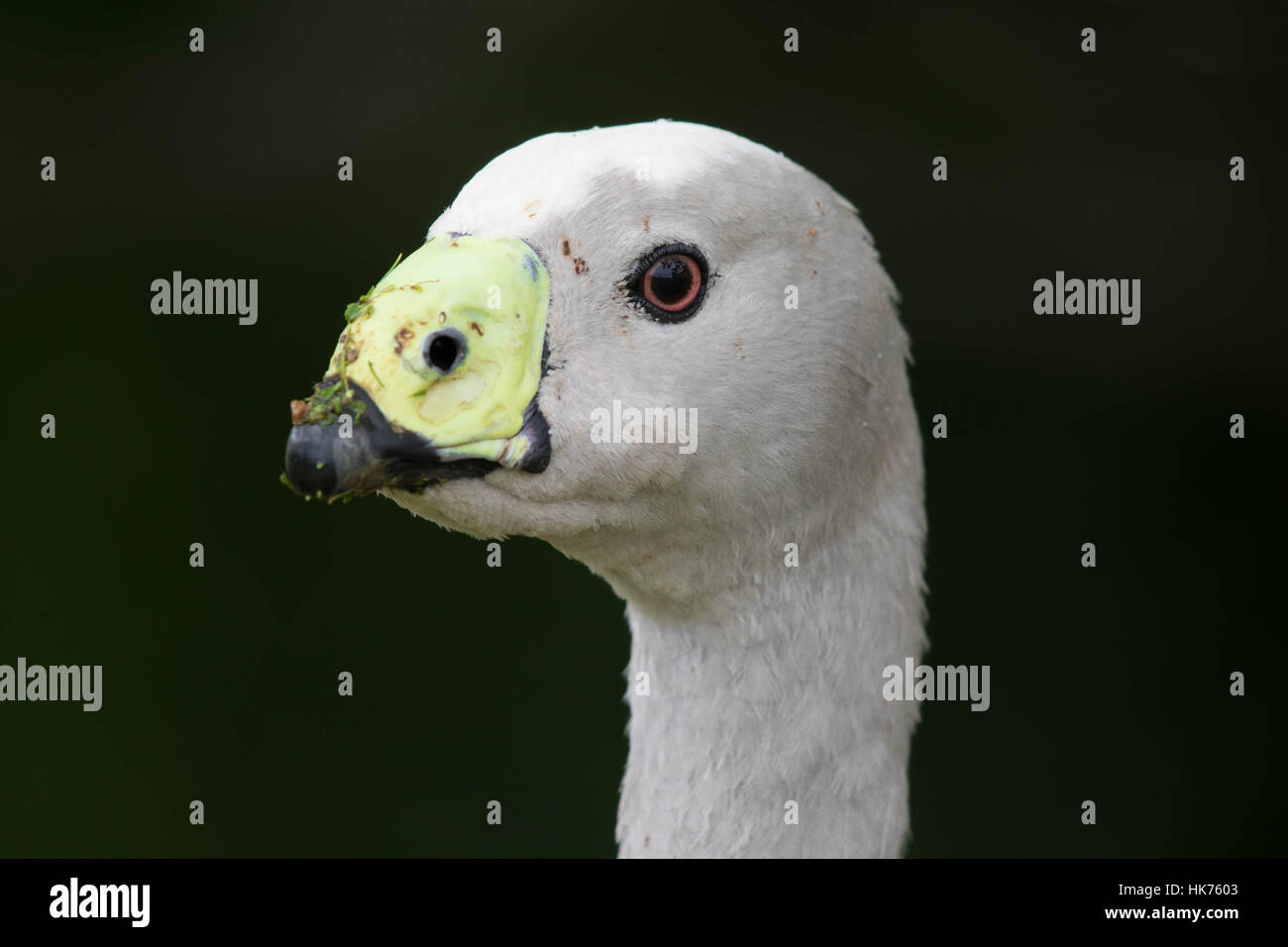 headshot of a Cape Barren Goose (Cereopsis novaehollandiae) Stock Photo