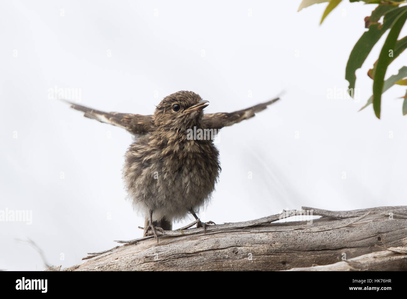 juvenile Dusky Robin (Melanodryas vittata) begging to be fed - Stock Image