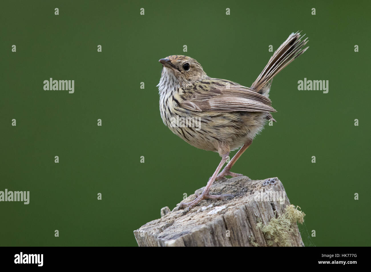 Striated Fieldwren (Calamanthus fuliginosus) perched on the top of a fencepost - Stock Image